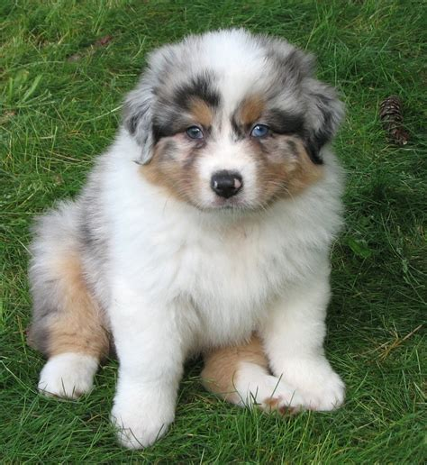 pros and cons of getting two puppies pros and cons to mini aussies breeds picture