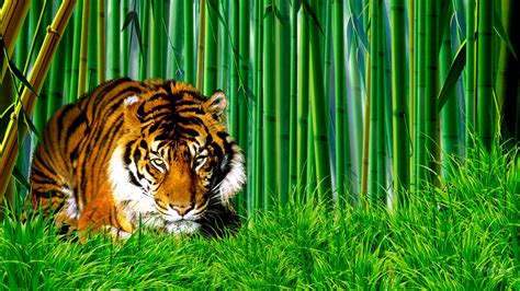 bamboo forest tiger hd wallpaper download hd wallpapers