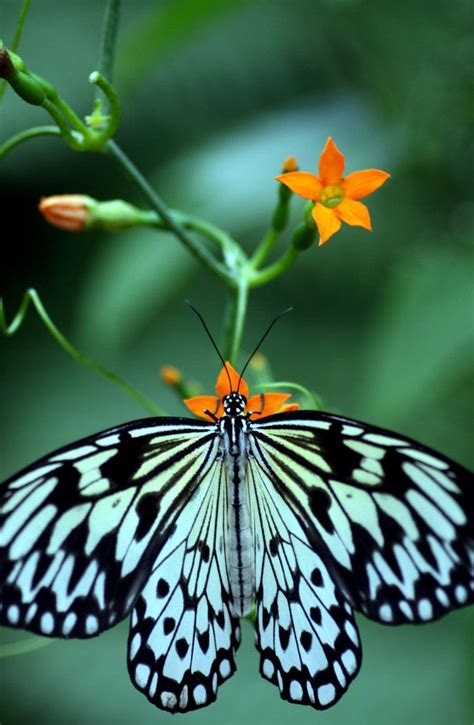 17 Buterfly Jumbo Waka 17 best images about beautiful butterflies magnificent moths winged wonders on