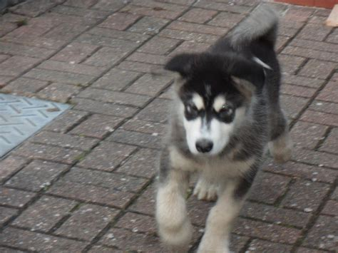 malamute puppies oregon malamute husky puppies for sale in portland oregon