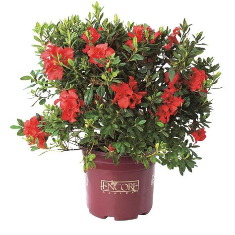 encore azalea 1genca the home depot