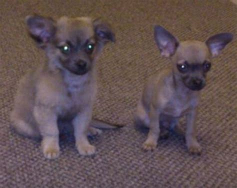 puppies for sale in plymouth 2 chihuahua puppies for sale in plymouth plymouth