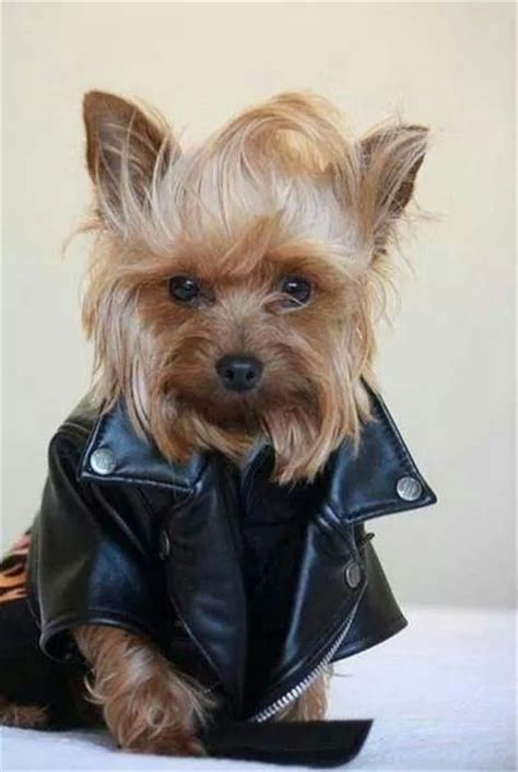 teacup yorkie costumes 1931 best images about i cats and dogs on puppys costumes and yorkie