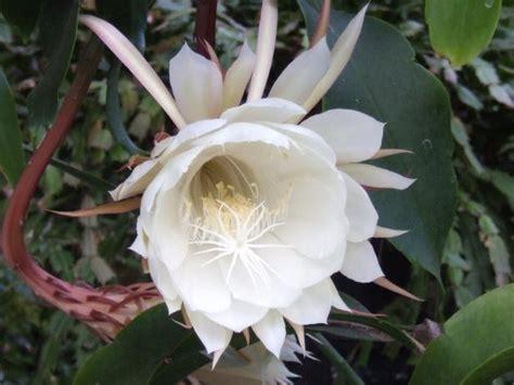 Bloomen Flowers Diy by How To Make Blooming Cereus Bloom Diy