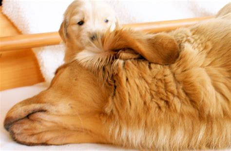butternut hill golden retrievers puppies butternut hill golden retrievers