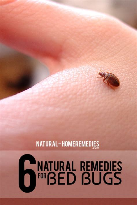 6 natural cures for bed bugs how to cure bed bugs