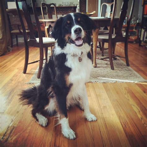 Great Bordernese (Great Pyrenees, Border Collie and ...