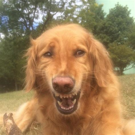 golden retriever smile 15 pictures so we you not to laugh