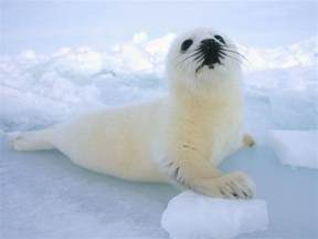 harp seal animal interesting facts images the
