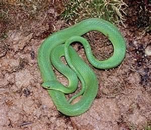 Garden Snake Green Green Garden Snakes Photos