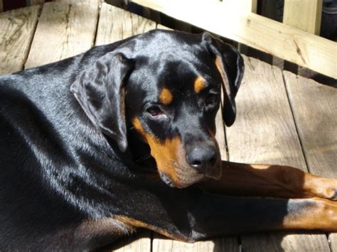 rottweiler pictures photo gallery rottweiler photos pictures rottweilers page 9 breeds picture