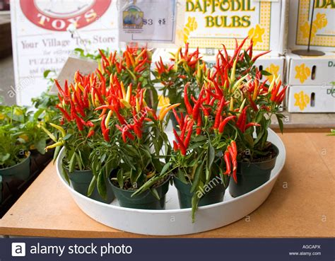 Ornamental Pepper Import Limited ornamental pepper plants for sale at a local market stockfoto lizenzfreies bild 14165809 alamy
