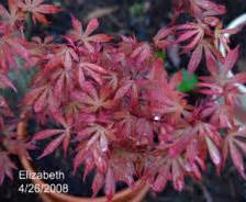 acer palmatum elizabeth ubc botanical garden forums