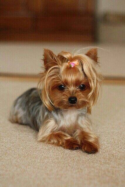 yorkie haircut pics 17 best yorkies with full tails undocked yorkies images