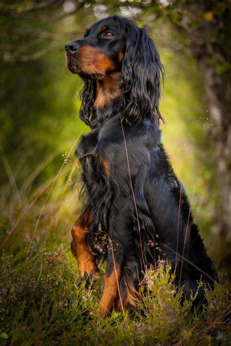 gordon setter dog names 327 best images about dogs on pinterest chocolate labs