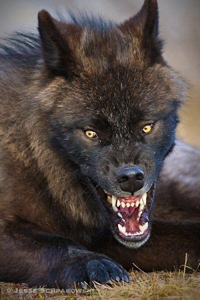 Scary Wolf   www.imgkid.com - The Image Kid Has It! Growling Black Wolf With Yellow Eyes