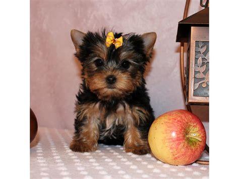 perros yorkie en venta cachorro terrier en monterrey anuncios clasificados gratis