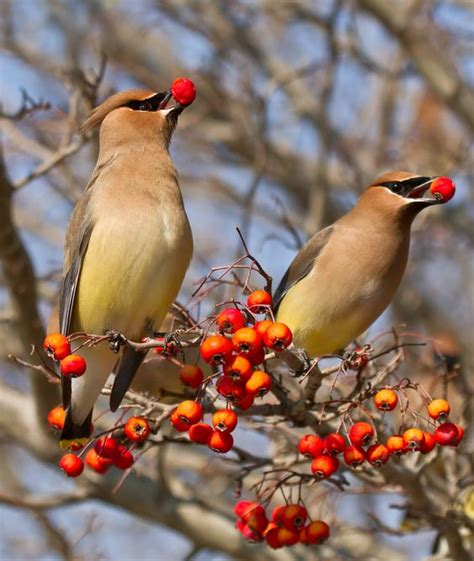 these beautiful cedar waxwings arrive every year to eat