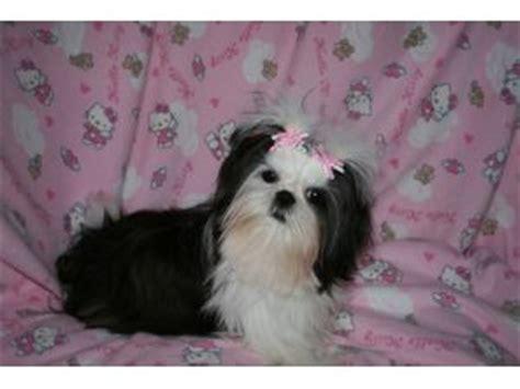 shih tzu puppies for sale in wv shih tzu puppies in west virginia