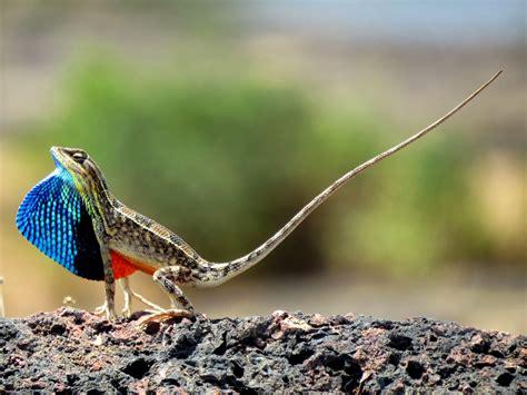 fan in the fan throated lizard sitana ponticeriana magical lizard