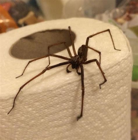 giant spider in bathroom an eight legged inbetweeners fan meet the giant spiders