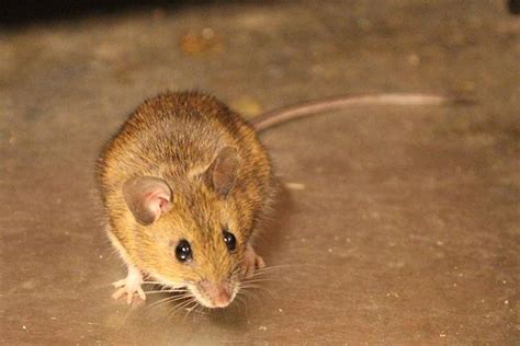 mice in the house what you need to know about mice in your home and how to get rid of them globalnews ca