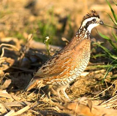 top 28 what do quail eat california quail eating in