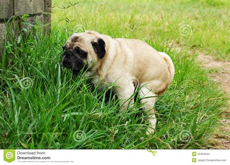pug puppy has diarrhea poo breeds picture