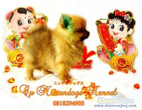 nintendogs pomeranian dunia anjing jual anjing pomeranian gong xi fa chai sale