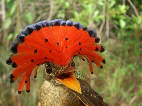tyrant flycatchers tumblr
