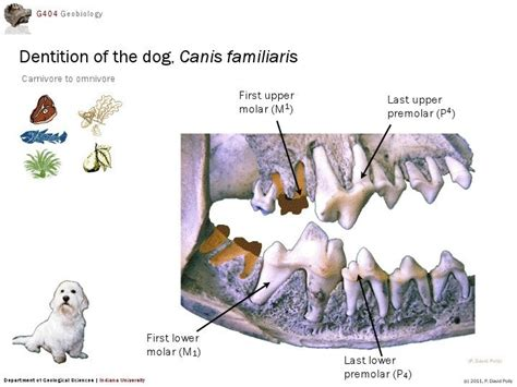 are dogs carnivores are dogs carnivores or omnivores