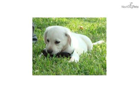 goldendoodle puppy vomiting find a breeder breeder directory breed