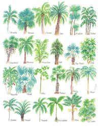 tree species guide palm tree guide with illustrations of different types of