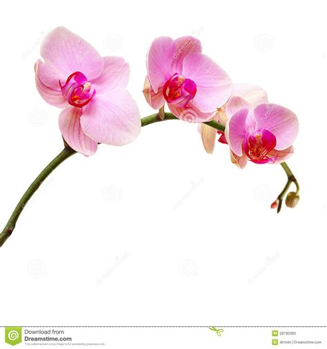 Architecture Plans by Pink Orchid Flower Stock Photos Image 28790393