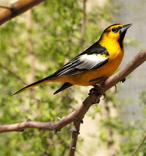 birds bullock s oriole