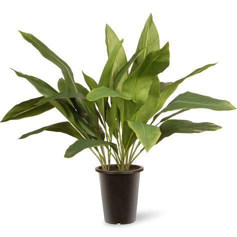 floor plant national tree co aspidistra floor plant in pot reviews