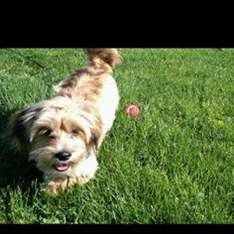 shih tzu sheltie mix sheltie dachshund mix dogs dachshund mix dogs and dachshund