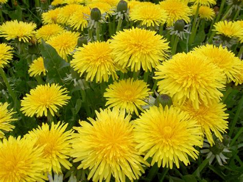 dandelion facts flower facts all about flowers dandelions