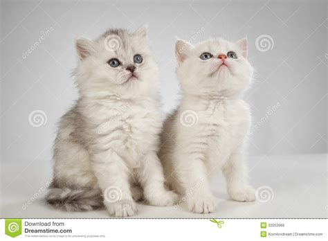 white pussy cat persian cats stock photo image of looking baby feline