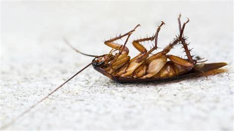Mittel Gegen Kakerlaken In Der Wohnung by Kakerlaken Bek 228 Mpfen Sch 228 Dlinge Fangen Oder Vertreiben