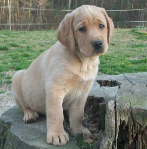 lab puppies for sale in delaware labrador retriever puppies for sale in port of spain fiwiclassifieds