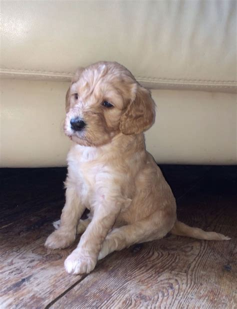 goldendoodle puppies for sale in kent goldendoodle information and facts breeds picture