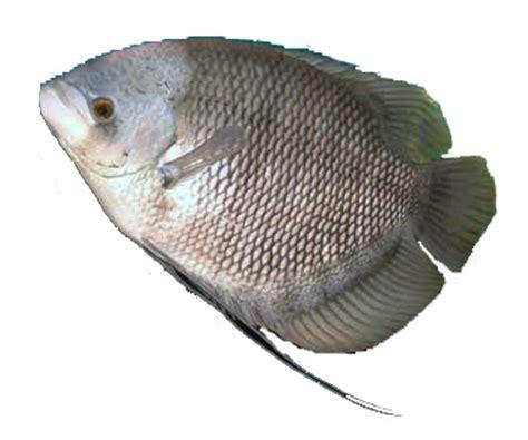 Bibit Gurame Angsa gurame porselen waroeng ikan bakar 17 00wib