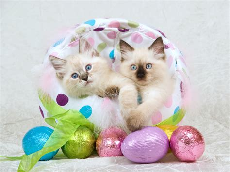 cat easter wallpaper cute cat facts about cats breeds kittens health holidays oo