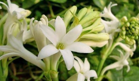 Pupuk Untuk Bunga Sedap Malam cara menanam dan merawat bunga sedap malam