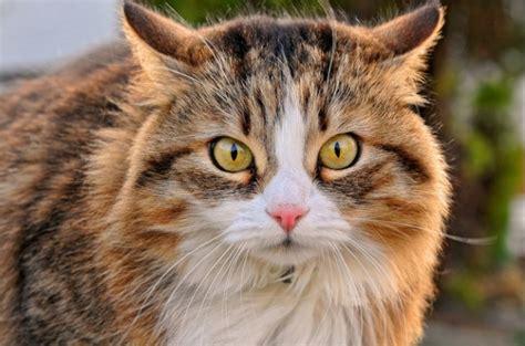 Cat Ct010 Brown Yellow 1 60 curiosidades sobre gatos ronronar