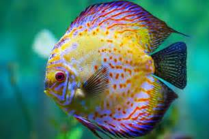 most colorful freshwater fish 10 most colorful fresh water fishes