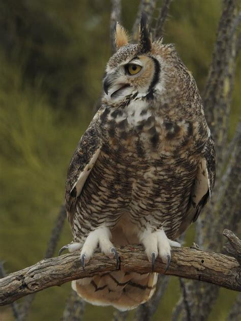detailed information  great horned owl bubo virginianus