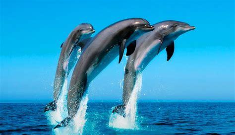 imagenes para fondo de pantalla delfines delfines enamorados www imgkid com the image kid has it