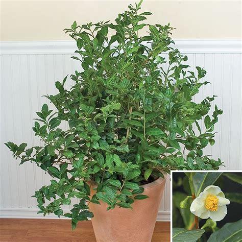 tea plant camellia sinensis camellia tea plant